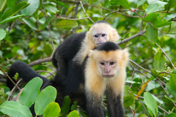 White-faced monkeys